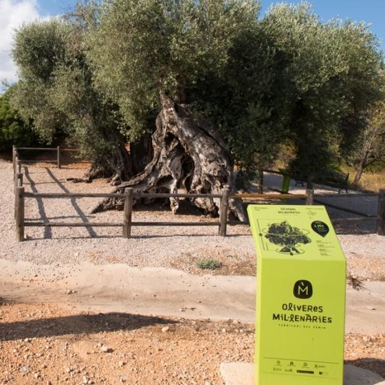 Diputació reforçarà la conservació dels 198 arbres monumentals