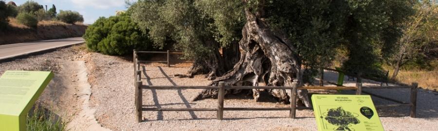 La Diputación favorece la conservación de los 198 arboles monumentales de la provincia