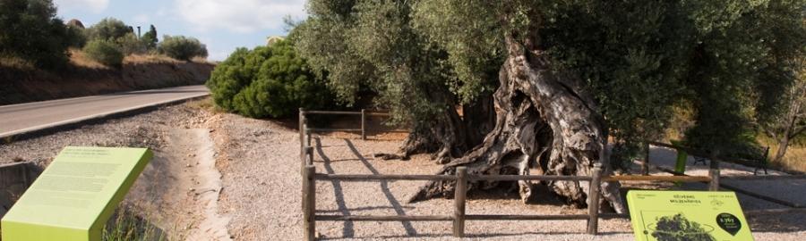 Diputación favorece la protección y conservación de los árboles monumentales